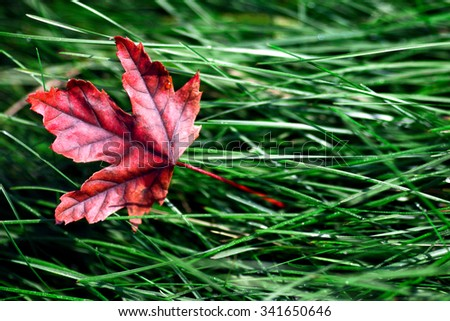 The first fallen leaf of the season rests on a bed of green grass. - stock photo
