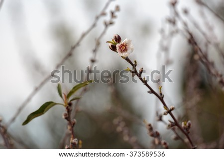 The first full-blown flower on almond tree - stock photo