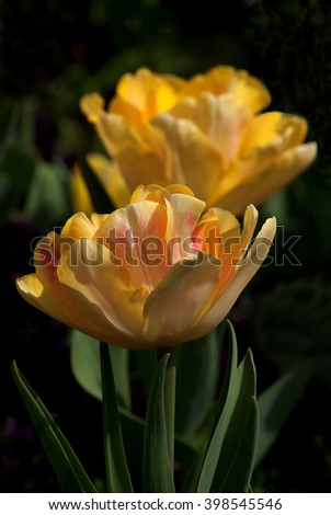 The first spring blooming tulips - stock photo