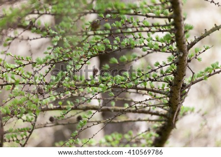 The first spring buds and green leaves larch - stock photo