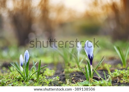 The first spring flowers gentle violet, lilac crocuses in the dew drops.In the background, the warm light of the setting sun, the rising sun. The open area in the garden, park, outdoors.  - stock photo