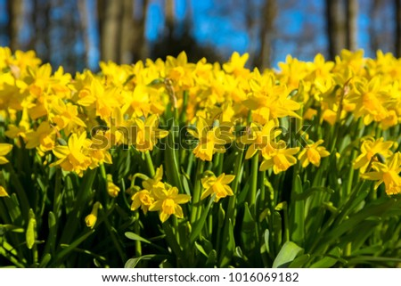 First spring flowers yellow daffodils yellow stock photo royalty the first spring flowers yellow daffodils yellow spring fragrant flowers daffodils and green grass mightylinksfo