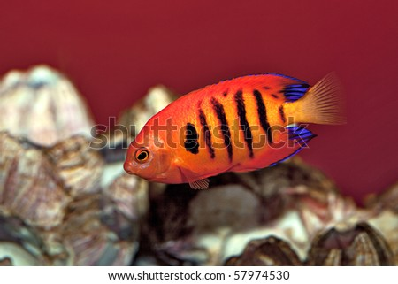 The Flame AngelFish. A popular but expensive aquarium fish. - stock photo