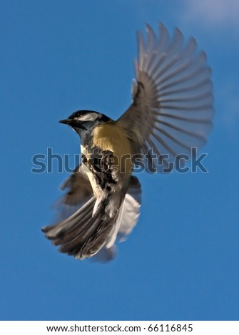 The flight of Great Tit (Parus major) - stock photo