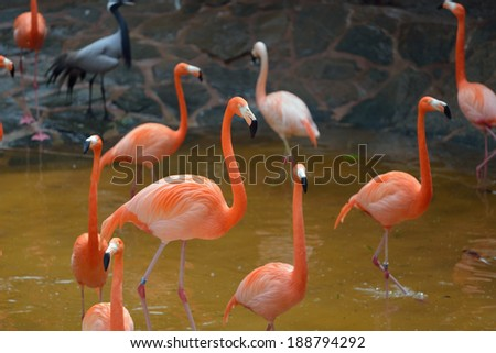The flock of pink flamingo in the water  - stock photo