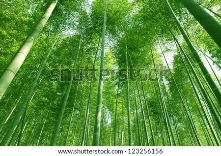 The flourish bamboo forest with glorious morning sunshine. - stock photo