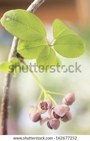 The flower of a chocolate vine - stock photo