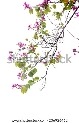 The flowers and green leaves of Bauhinia purpurea on white background,also named purple bauhinia. - stock photo