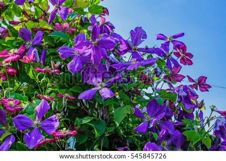 The flowers of clematis. Clematis a climbing plant in the summer garden. Purple clematis against the sky