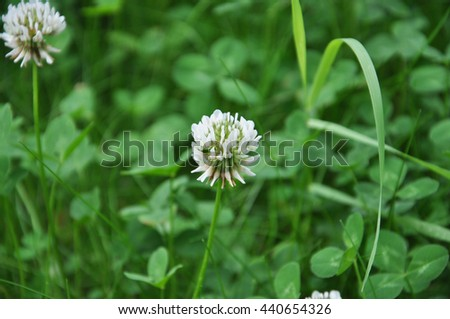 the flowers of white clover in a meadow - stock photo