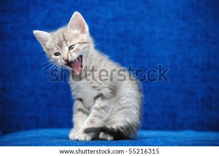 The fluffy kitten shouts on a dark blue background - stock photo