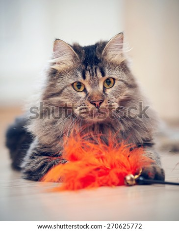 The fluffy striped domestic cat plays with a toy.  - stock photo