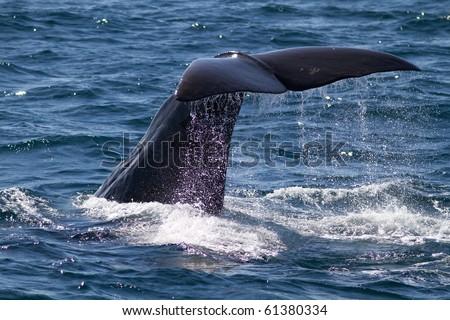 The fluke of a diving sperm whale bull [Physeter macrocephalus] - stock photo