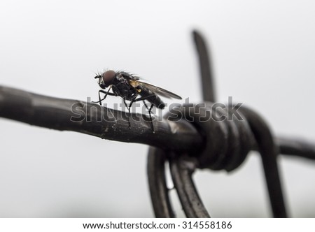 The fly sits on a barbed wire on a cloudy day, shallow depth of field - stock photo