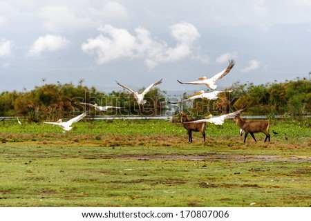 The flying pelicans in Naivasha lake of Kenya. - stock photo