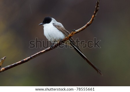 The Fork-tailed Flycatcher from Cove Island, 2010