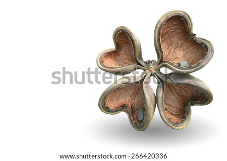 The four heart-shaped pod with seeds that provide up to 25% of the oil for  Bastard poom. ( Sterculiaceae Sterculia Foetida ) Isolated on white background withc lipping path.   - stock photo