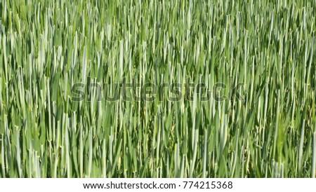 Fresh Green Grain Field Spring Symbol Stock Photo 774215368