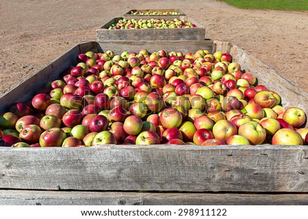 The fresh picked apple harvest in wooden bins on the farm. - stock photo