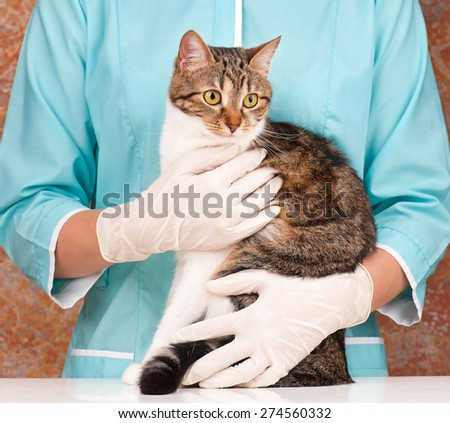 The frightened adult tabby on the veterinarian hands  - stock photo