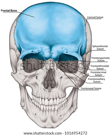Frontal Bone Cranium Bones Head Skull Stock Illustration 1016954272