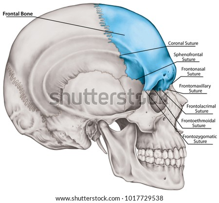Frontal Bone Cranium Bones Head Skull Stock Illustration 1017729538