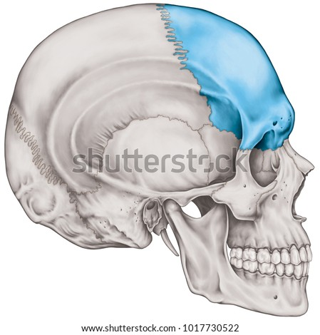 Frontal Bone Cranium Bones Head Skull Stock Illustration 1017730522