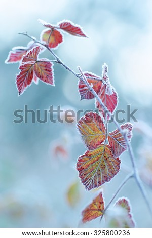 The frost on the leaves. - shallow DOF - stock photo