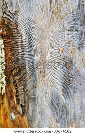 The fulcrum of an old tree spoilt by parasites - stock photo