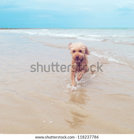 The funny little dog at the surf beach - stock photo
