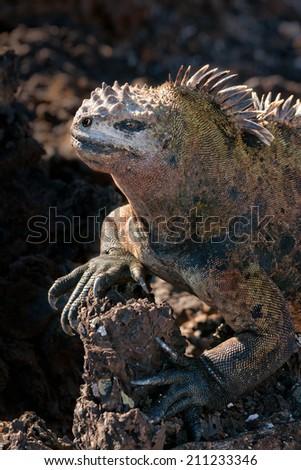 The Galapagos marine iguana (Amblyrhynchus cristatus) on a lava rock, Isabela Island, Galapagos, Ecuador. - stock photo