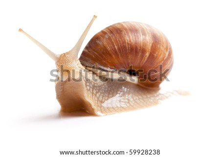 the garden snail in front of white background - stock photo