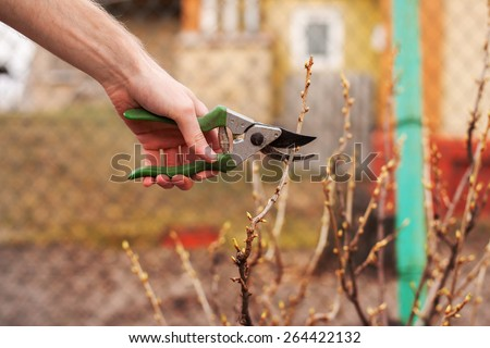 The Gardener is cutting a currant with a sharp pruner - stock photo
