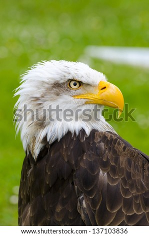 the gaze of the eagle - stock photo