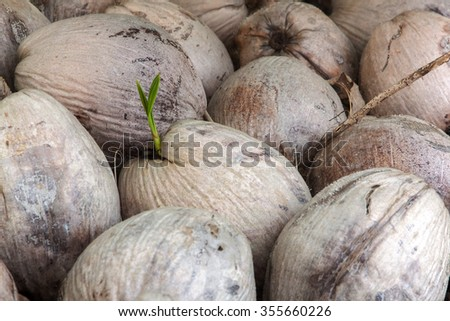 The germination in piled coconut. - stock photo