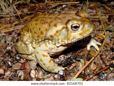 The Giant Sonoran Toad, Anaxyrus or Bufo alvarius