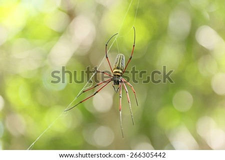 The Giant wood spider (Nephila maculata/nephila pilipes), - stock photo