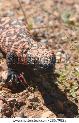 The gila monster is a protected species found in the deserts of southern Arizona. - stock photo