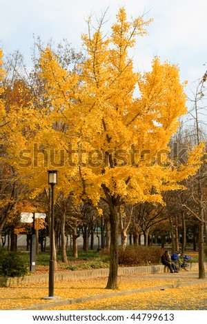 The gingko tree covered with golden leafs - stock photo