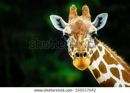 The giraffe - stock photo