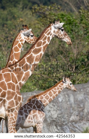 The Giraffe Family, snapped in Taipei zoo, Thaiwan - stock photo