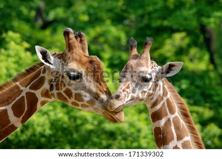 The giraffe (Giraffa camelopardalis) is an African even-toed ungulate mammal, the tallest of all extant land-living animal species, and the largest ruminant. - stock photo
