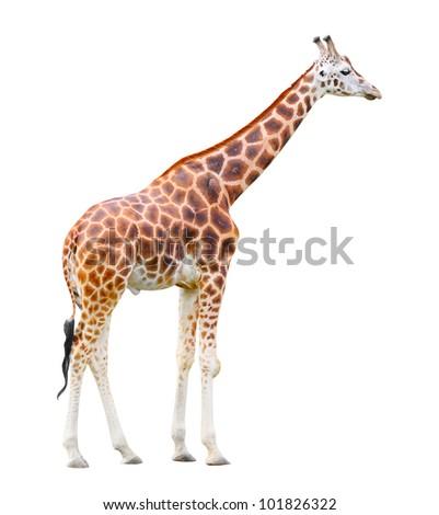 The giraffe (Giraffa camelopardalis) isolated on a white background. - stock photo