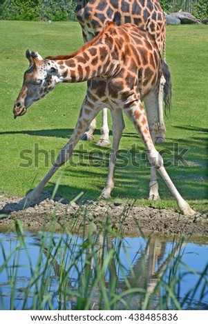 The giraffe in drinking position(Giraffa camelopardalis) is an African even-toed ungulate mammal, the tallest of all extant land-living animal species, and the largest ruminant. - stock photo