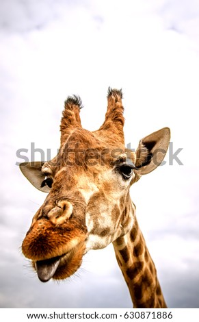The giraffe looks into the camera and sticks out his long blue tongue.