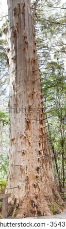 The Gloucester Tree is a giant karri tree in the Gloucester National Park of Western Australia. - stock photo