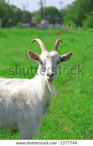 The goat - stock photo