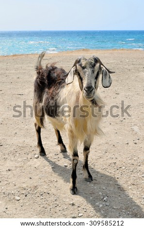 The goat stands on the seashore