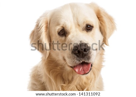 The gold retriever posing in studio. Isolated on white - stock photo