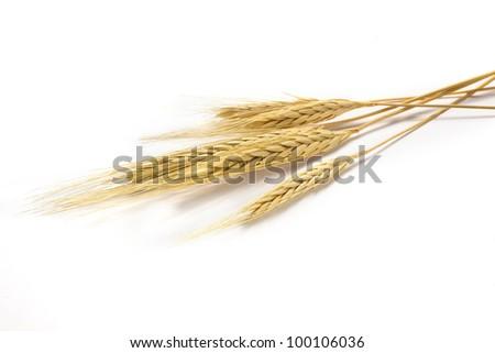 The golden barley on white background - stock photo